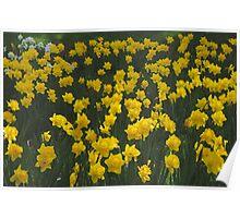 Yellow Daffodil Field Poster