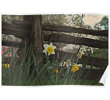 A Daffodil at the Fence Poster