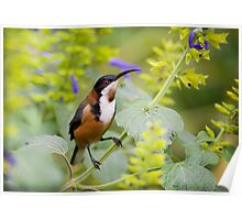 australia birds - eastern spinebill (il) Poster