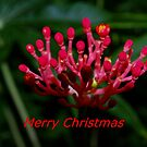 Christmas bloom by ♥⊱ B. Randi Bailey