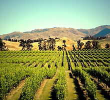 Marlborough vineyard by cjrolston