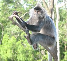 Silver Leaf Monkey, Borneo by Hansipan