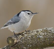 White-breasted Nuthatch by Heather Pickard
