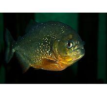 Lone piranha Photographic Print