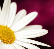 Daisy in Red,Pink by KellyHeaton