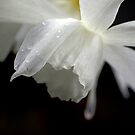 White Daffodil Floral Photo Print by Val  Brackenridge