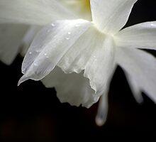 White Daffodil Floral Photo Print by Val  Brackenridge