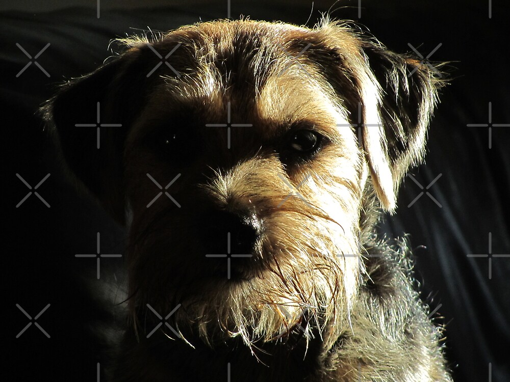 Moody Molly the Border terrier by sjbaldwin