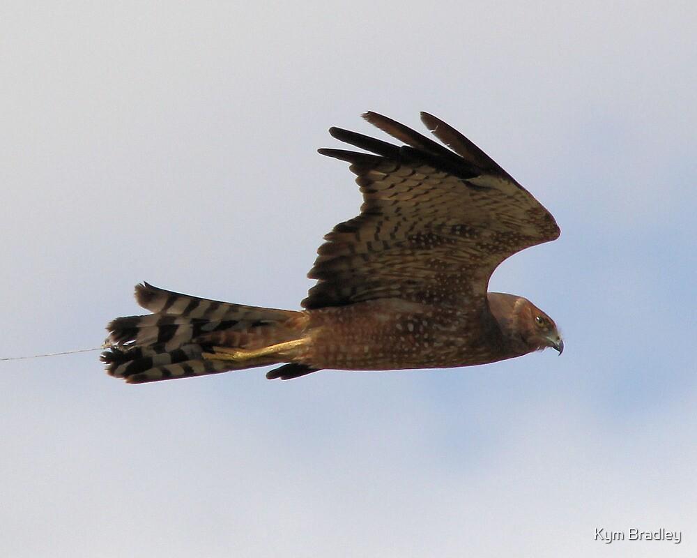 Spotted Harrier in Flight by Kym Bradley