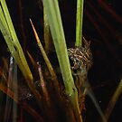 Florida Cricket Frog  by Michael L Dye