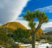 Joshua Tree in Snow by photosbyflood