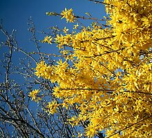Glorious Golden Forsythia by MidnightMelody