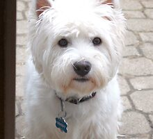 In true Westie spirit by MarianBendeth