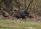 Wild Turkey Tom and Hens by Ron Russell