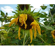 Scraggly Sunflower Photographic Print