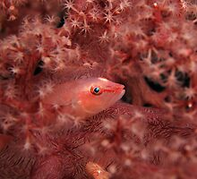 Soft Coral Ghost Goby Fish by randi83