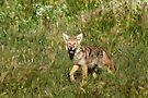 Cutie Coyote by Arla M. Ruggles