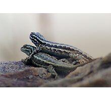 Lizards In Love Photographic Print