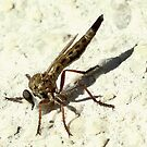 Robber fly by Rina Greeff