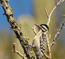 Ladder-backed Woodpecker in Arizona by Heather Pickard