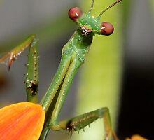 Praying Mantis by Hansipan