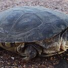 Turtle on the move by Trisce