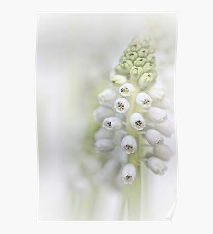 White Grape Hyacinth II Poster