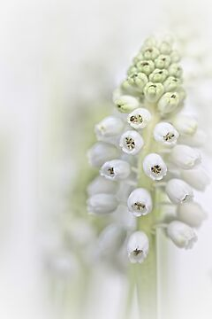White Grape Hyacinth II by Bob Daalder