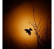 sparrow (001)  Photographic Print