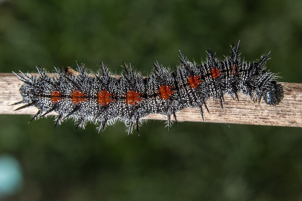 Mourning Cloak Caterpillar by corsefoto