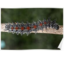 Mourning Cloak Caterpillar Poster