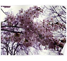 Blossom in Springtime Poster