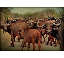 A BUFFALO GATHERING - The Buffalo - Syncerus caffer - BUFFEL Photographic Print