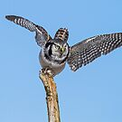 Northern Hawk Owl Launch by Bill McMullen