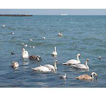 Swans on the sea coast Photographic Print