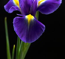 Eloquent Iris by Theresa Elvin
