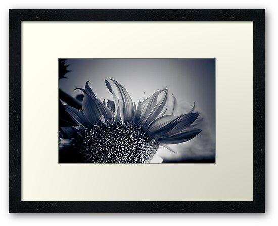 Sunflower Twilight  by IamPhoto