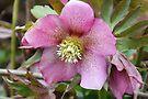 Lenten Rose - Helleborus Orientalis by Jo Nijenhuis