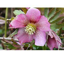 Lenten Rose - Helleborus Orientalis Photographic Print