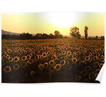 Sunflowers field on Sunset Poster