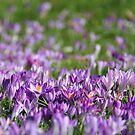 Purple Spring by KUJO-Photo