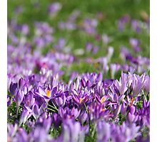 Purple Spring Photographic Print