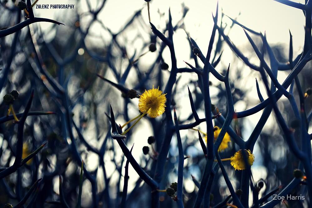 Spiky Wattle by Zoe Harris