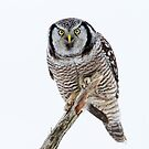 Northern Hawk Owl Crouch by Bill McMullen