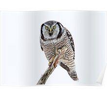 Northern Hawk Owl Crouch Poster