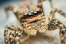 Marpissa muscosa female jumping spider by Mario Cehulic