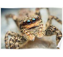 Marpissa muscosa female jumping spider Poster
