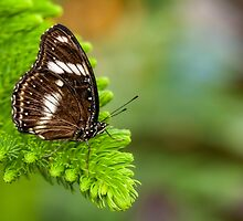 white and brown butterfly by Manon Boily