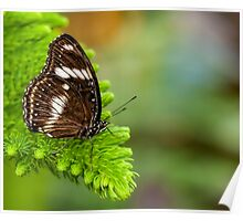 white and brown butterfly Poster