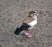 I'm An Egyptian Goose by Sauropod8